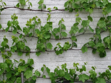 Druiven leiden muur