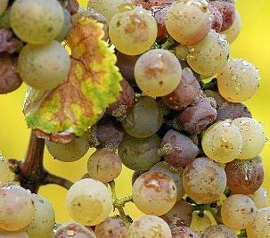 Druiven schimmel