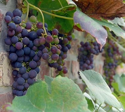 Druiven tuin