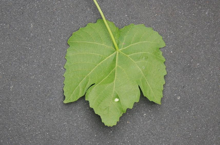 Galmijt druif achterkant blad