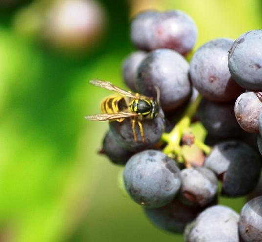 Wespen in je druifplant